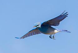 Mountain Bluebird Flying
